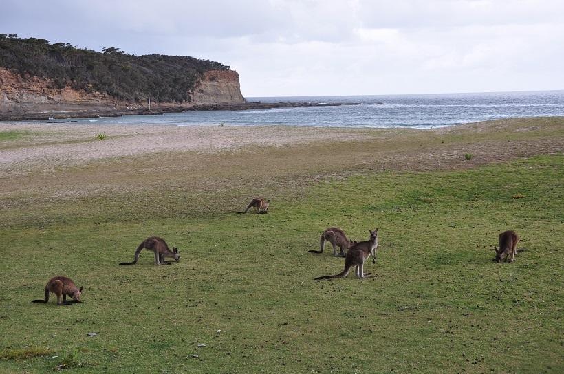 Les kangourous de Pebbly Beach