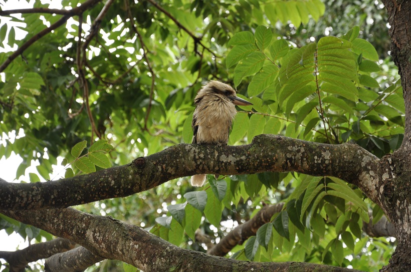 A Murramarang, on observe les oiseaux. Ici, le kookaburra ou martin chasseur australien.